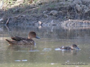 Female Chestnut Teal and chick