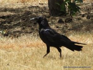 L. Raven