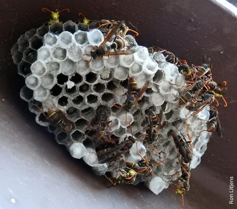 Paper wasp DSCN8831