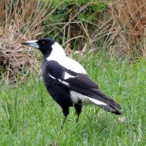 White backed magpie DSCN2919-001