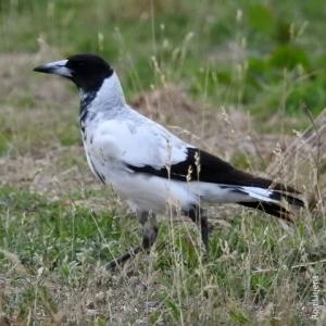 Whiter backed magpie DSCN8752