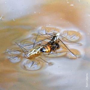 water striderDSCN6918