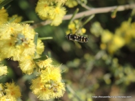 Common Hover Fly