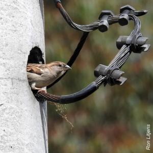 house-sparrow-1-dscn1188