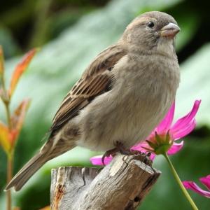 house-sparrow-passer-domesticus-dscn9482