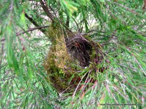 Old Yellow-faced Honeyeater nest