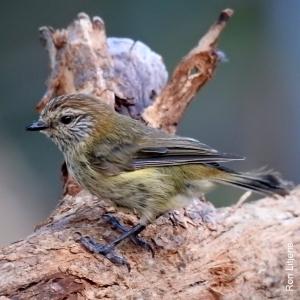 striated-thornbill-1-dscn7711