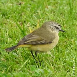 yellow-rumped-thornbill-1-dscn0881