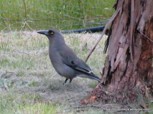 grey-currawong