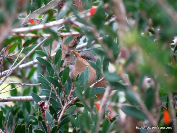 e-spinebill-juvenile
