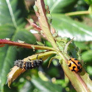 Transverse Ladybird (Coccinella transversalis), adult and larva, & aphids