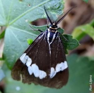 senecio-moth-nyctemera-amicus-1-dscn2494