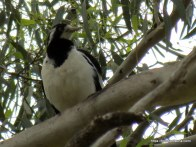 Female Magpie-lark