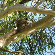 Male on nest in 2013