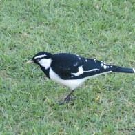 Male Magpie-lark
