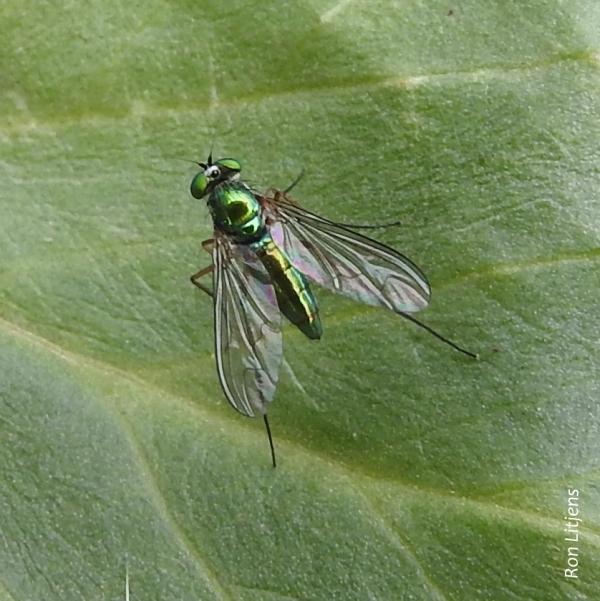 Dolichopodid Fly 1-DSCN6336