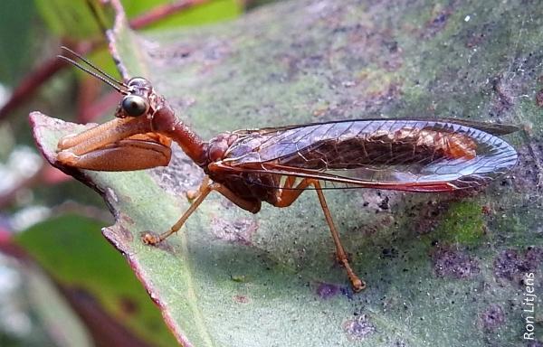 Mantis Fly 1-DSCN7017