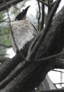 Noisy Friarbird (Philemon corniculatus) 1-DSCN7070