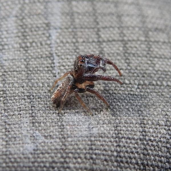 jumping spider 1-DSCN9879