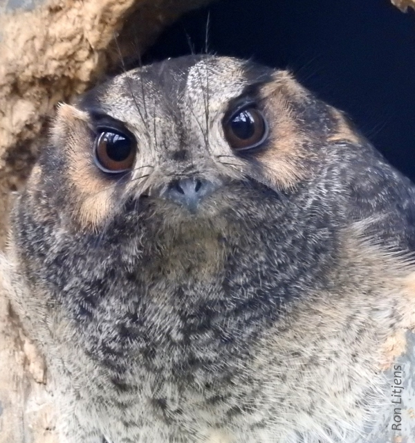 z Australian Owlet-nightjar (Aegotheles cristatus) DSCN8978