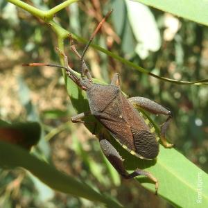 z Eucalyptus Tip-wilter Bug (Amorbus sp.) DSCN6408